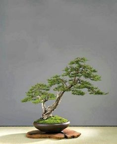 Awesome Bonsai Tree Ideas For Your Garden. Below are the Bonsai Tree Ideas For Your Garden. This article about Bonsai Tree Ideas For Your Garden was posted under the Outdoor category by our team at August 2019 at pm. Hope you enjoy it and don& . Bonsai Tree Care, Bonsai Tree Types, Indoor Bonsai Tree, Maple Bonsai, Juniper Bonsai, Mini Bonsai, Ikebana, Bonsai Making, Plantas Bonsai