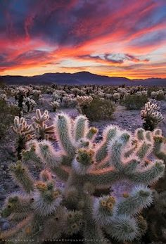 Desert Symphony    Cholla cactus illuminated by a spectacular desert sunrise in Joshua Tree National Park.      by Sean Bagshaw