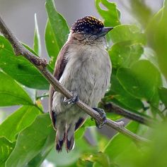 Greyish Piculet, Colombia