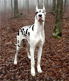 Love, love, love, great dane-dalmatian mix!!