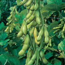 Butterbeans Edible Soybeans -Flavor favorite! The 2 to 2 1/2 foot well branched plants produce high yields of easy to shell pods filled with 2 to 3 sweet and buttery beans.