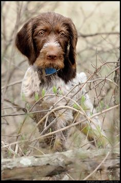 German Wirehaired Pup In The Woods  EVEN AS PUPPIES THEY HAVE SUCH WISE EYES