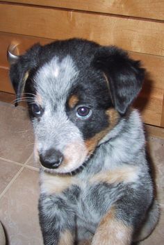 Border Collie Blue Heeler Cross - this is my future pup!!! CAN'T WAIT. I get him late october/early november!!!