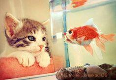 Thinking about dinner.. #kitten #goldfish