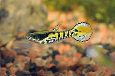 Poecilia species cf wingei Ocean Aquarium, Betta Aquarium, Tropical Aquarium, Freshwater Aquarium Fish, Planted Aquarium, Pretty Fish, Beautiful Fish, Guppy, Aquariums