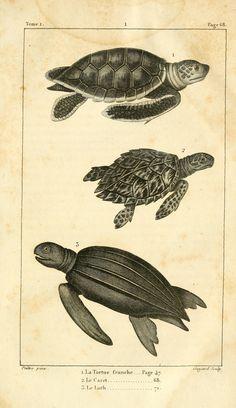 Sea turtles. Histoire naturelle des quadrupèdes-ovipares t.1  Paris :Rapet,1819.  Biodiversitylibrary. Biodivlibrary. BHL. Biodiversity Heritage Library
