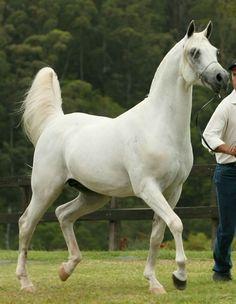 Barabas, Arabian Stallion, Australia