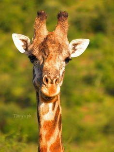 Funny giraff #africa one love