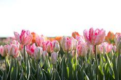 Papouškovité tulipány jsme objevili nedávno a úplně jsme si je na první pohled zamilovali! Kroucené listy dodávají kyticím i záhonům novou texturu. Nejkrásněji působí i při odkvětu, kdy dorůstají velikosti dlaně. Stačí jich opravdu malinko a vytvoří nádherná efekt. Tulipán Silver Parrot s bílým středem a sytě růžovými konci okvětních plátků, z kraje kvetení zelené žilkování. Listy působí dekorativně už z kraje jara— mint zelené s bílými okraji. Garden, Flowers, Plants, Tulips, Garten, Lawn And Garden, Gardens, Plant, Gardening