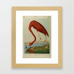 American Flamingo by John Audubon – Reproduction. Framed Art Print by acoetzer Great Artists, Framed Art Prints, Flamingo, History, American, Artwork, Painting, Products, Flamingo Bird