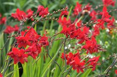 Find help & information on Crocosmia 'Hellfire' montbretia 'Hellfire' from the RHS Large Flowers, Red Flowers, Red Perennials, Crocosmia, Verbena, Green Plants, Shade Garden, Shrubs, Home And Garden