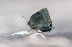 Panthiades bitias Butterfly by fabriciodo #nature #photooftheday #amazing #picoftheday