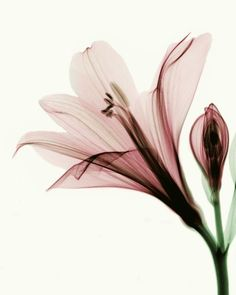 X ray flower photography Art Floral, Floral Drawing, Flower Drawings, Orchid Care, Botanical Flowers, Flower Backgrounds, Fine Art Photography, Flower Photography, Flower Art