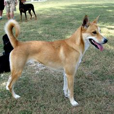 World' rarest dog breeds / 5. Carolina Dog: Also known as the American Dingo, the Carolina Dog actually started out as a wild and free roaming dog. It was discovered in the cypress swamps of the Southeastern United States around the 1970s, and is now bred in captivity.