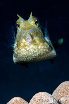 Thornback Boxfish, seen, Surin Islands, Thailand. Underwater Creatures, Underwater Life, Marine Fish Tanks, Sea Diving, Deep Sea Creatures, Deep Blue Sea, Sea World, Animals Of The World, Fauna