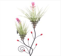 Tillandsia Air Plant  Stricta Bak  by Joinflowerco on Etsy