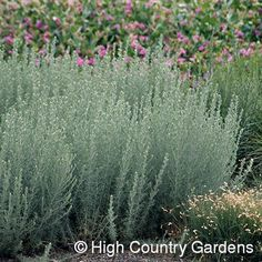 For my garden: Fringed Sage - extremely drought tolerant, low maintenance, zones 3-8