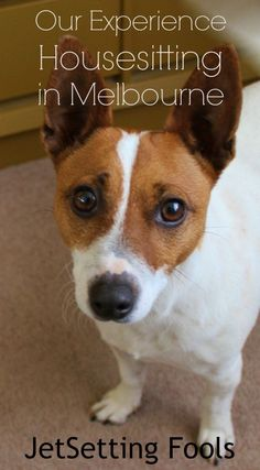 Meet Tess. She's a spunky two-year-old Jack Russell Terroir – and she is ours to look after while we are in Melbourne, Australia housesitting for seven weeks.