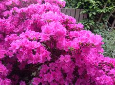 Pink azalee