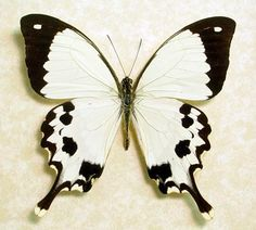 Madagascar Swallowtail Butterfly. Beautiful cream colored butterfly native to Madagascar.