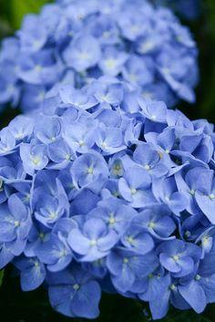 #blue hydrangea