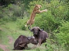Lion sent flying by buffalo in extraordinary video.   NO animals were hurt....just the ego of the young lion.