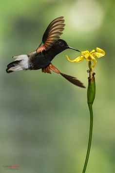 Black-bellied Hummingbird by Chris Jimenez*