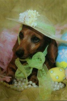 Dachshund wearing her Easter bonnet...