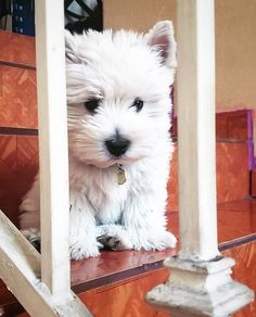 Westie Puppies, Cute Dogs And Puppies, Westies, Pet Dogs, Dog Cat, Chihuahua Dogs, Beautiful Dogs, Animals Beautiful, Cute Animals