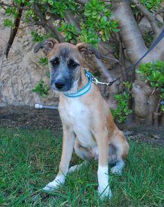 Meet Franky, a Petfinder adoptable Terrier Dog | San Diego, CA