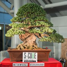Million dollar bonsai. Here's a mind-bending Japanese white pine that we featured back in 2011 with our original caption: This magnificent White pine was sold at the 11th Asia-Pacific Bonsai and Suiseki Convention & Exhibition in at Takamatsu, Kagawa, Japan, earlier this month. As you can see, the asking price was 100,000,000 yen (that's close to 1.3 million dollars). I don't know what the actual sales price was. Photo borrowed from Bonsai Tonight.