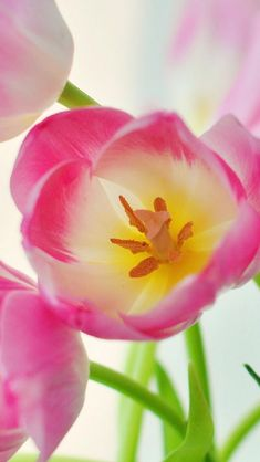 Pink Tulips Nature Plant   iPhone 5 wallpapers, backgrounds, 640 x 1136