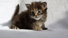 Polly of Maine Coon Castle 3 weeks old #katzenbaby #mainecoon #kitten #cat