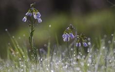 Обои цветы, Роза, блики, трава, синий, капли