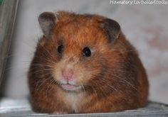 SYRIAN HAMSTER: LBE Ella - Yellow Black, Longhaired