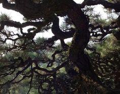Pins japonais du jardin Ritsurin de Takamatsu, trésor National du Japon.