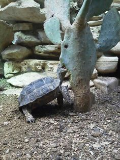 I have seen numerous suggestions for Russian tortoise diet Some great Some awful. Russian Tortoises are nibblers and appreciate broad leaf plants. Tortoise As Pets, Tortoise House, Tortoise Habitat, Sulcata Tortoise, Tortoise Care, Tortoise Turtle, Tortoise Enclosure, Russian Tortoise, Turtle Love