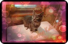 Washington, DC - Domestic Shorthair. Meet Kourtney Katdashian a Kitten for Adoption.