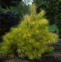 Pinus densiflora 'Burke's Red Variegated ' Bright green and yellow bands decorate the needles of this variegated Japanese red pine, and the creamy-butter coloring becomes more vibrant in summer. Vigo