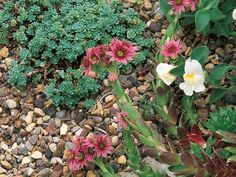 Drainage Solution  Gravel makes a great mulch. Spread around plants that need good drainage, such as sedums.
