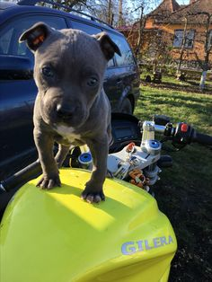#amstaff #blue #gilera #motorbike #dog #little #cute #baby