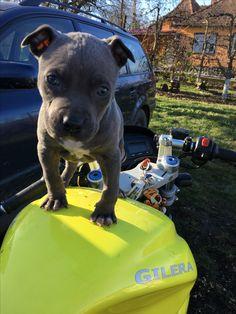 #amstaff #blue #gilera #motorbike #dog #little #cute #baby