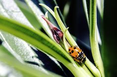 Two ladybugs and a bud by Riccardo Martinelli on 500px