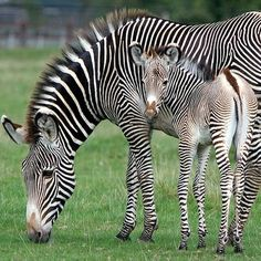 baby and momma zebra,,, belle  maman  beau bebe,,,,,