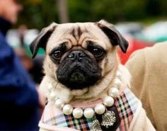 Vanessa is an adoptable Pug Dog in charlotte, VT. Vanessa is a 6 yo fawn pug rescued from an Ohio  puppymill.  She has spent the last year in a home that loved her very much but were unable to keep he...