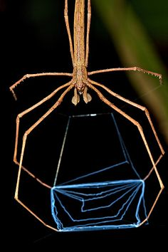 """""""NET CASTING SPIDER (Deinopsis subrufa) - Deinopsis are unique amongst arachnids in their predatory methods. They remain suspended above branches or tree trunks with their trapezoidal webs stretched between their four front legs. Spiders And Snakes, Cool Bugs, Macro Photography, Levitation Photography, Winter Photography, Abstract Photography, A Bug's Life, Beautiful Bugs, Bugs And Insects"""
