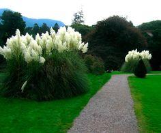 Пампасная трава, или кортадерия, на участке смотрится великолепно. На высоких мощных стеблях густые метлы-соцветия, изящно колышущиеся на ветру.