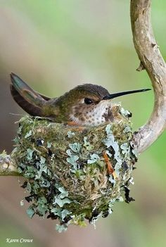 They're rare to find...but many species of birds, especially hummingbirds, add lichen to their tiny nests to help camoflauge them. They're held together with spiderweb, moss, saliva and even horse hair!