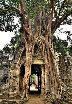 Deep roots: Huge strangler fig tree in Cambodia.