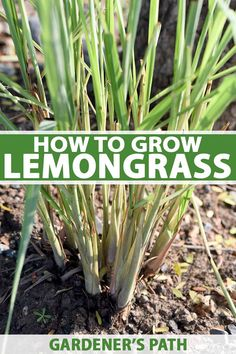 How to Grow Lemongrass A tropical perennial grass lemongrass has fragrant stalks and leaves which add a citrus flavor to your cooking as well as texture and interest to. Unique Garden, Diy Herb Garden, Herb Garden Design, Easy Garden, Garden Beds, Citrus Garden, Herbs Garden, Garden Tools, Perennial Grasses